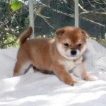 極小豆柴母犬 モモカちゃんの子犬