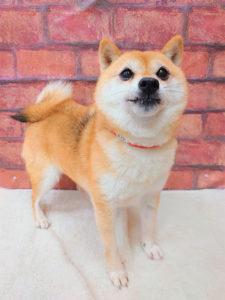 ad111 秋葉原 小豆柴の郷の犬