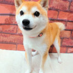 ad113 秋葉原 小豆柴の郷の犬