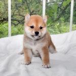極小豆柴母犬 ヒカリちゃんの子犬