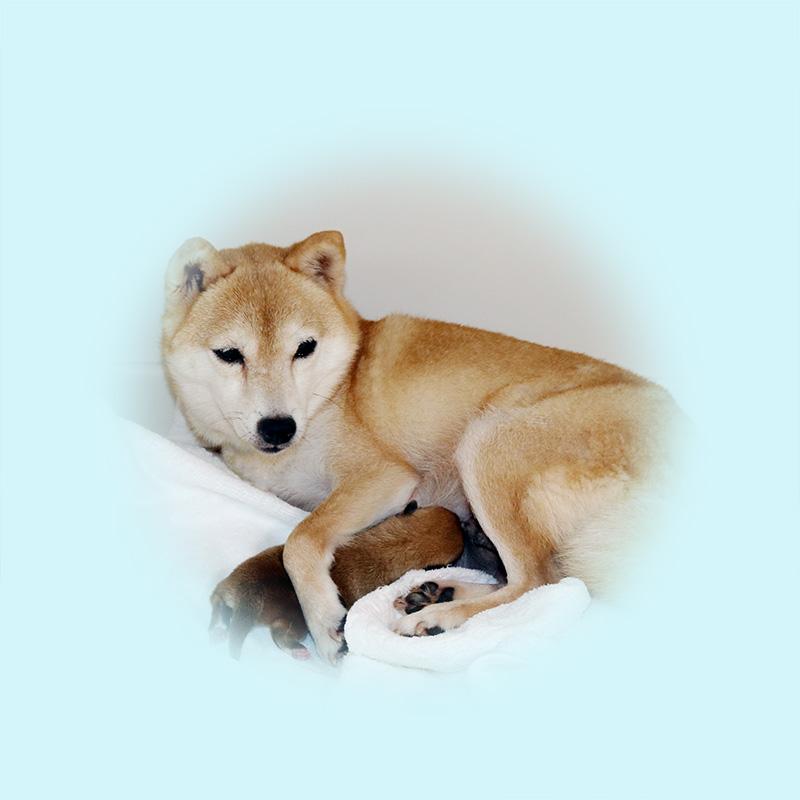極小豆柴母犬 アメちゃん