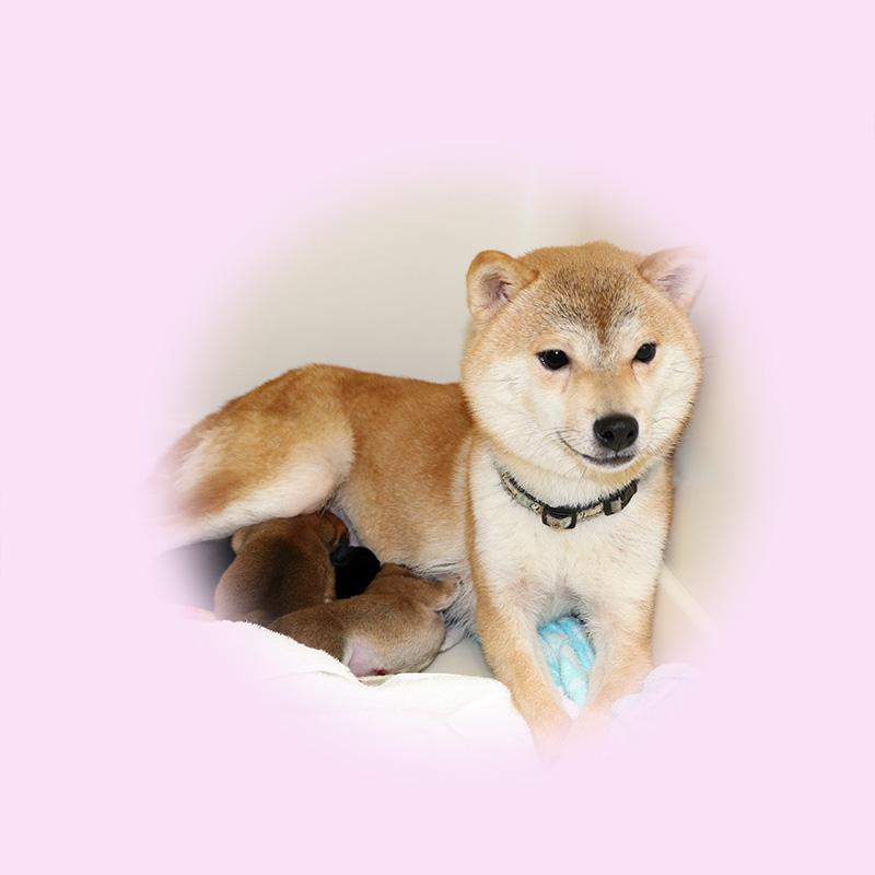 極小豆柴母犬 ドングリちゃん