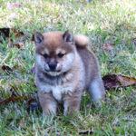 極小豆柴母犬 サカモちゃんの子犬