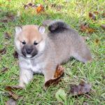 極小豆柴母犬 ユユちゃんの子犬
