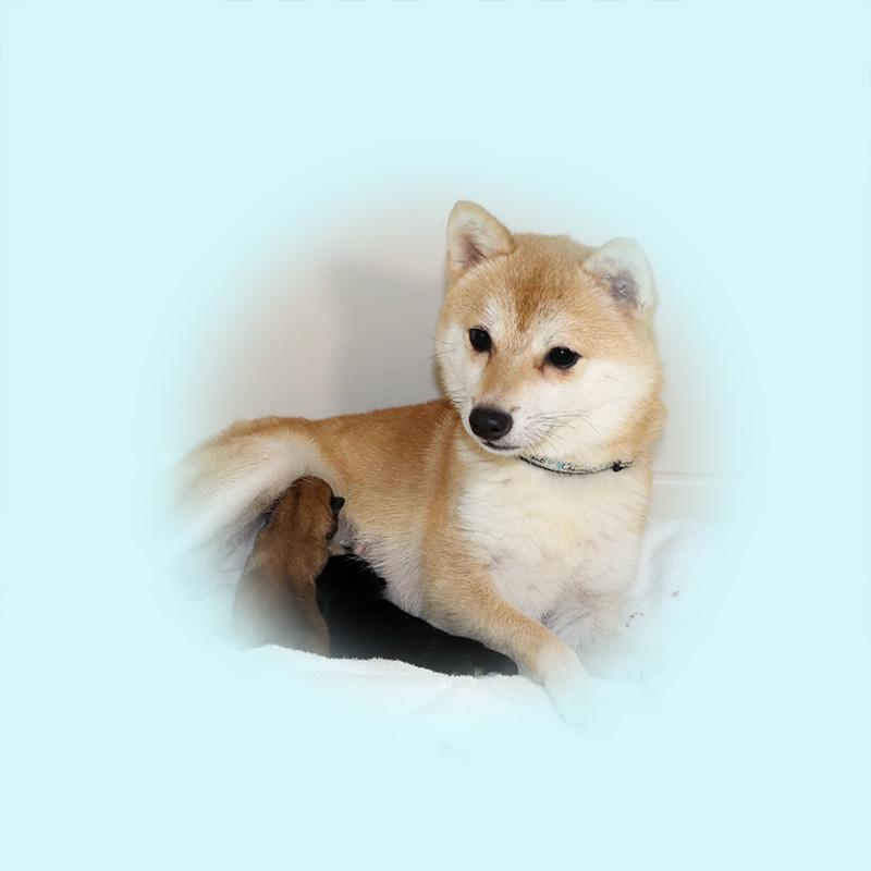 極小豆柴母犬 アーロンちゃん