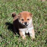 極小豆柴母犬 セナちゃんの子犬