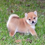 極小豆柴母犬 シギちゃんの子犬b