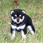 極小豆柴母犬 イヅモちゃんの子犬a