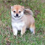極小豆柴母犬 イヅモちゃんの子犬c