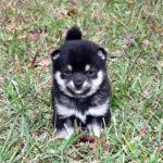 小豆柴母犬 ミリちゃんの子犬