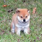 豆柴母犬 ソルトちゃんの子犬