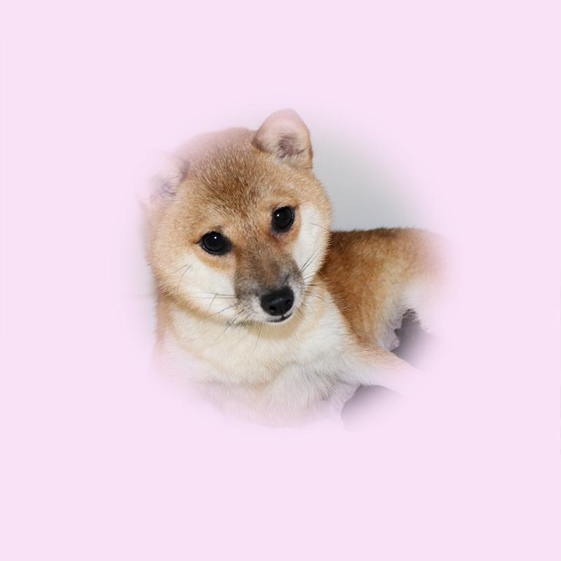 極小豆柴母犬 ミリちゃん