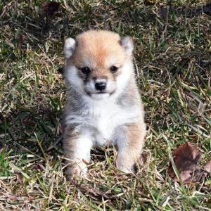 極小豆柴母犬 ミホちゃんの子犬