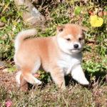 極小豆柴母犬 おもちちゃんの子犬d