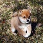 極小豆柴母犬 おもちちゃんの子犬a