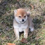 極小豆柴母犬 おもちちゃんの子犬b