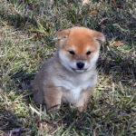 極小豆柴母犬 おもちちゃんの子犬c