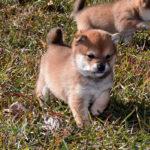 極小豆柴母犬 ミサトちゃんの子犬c