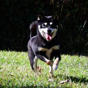 FP066_社会性訓育済み成犬