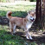 FP067_極小豆柴犬