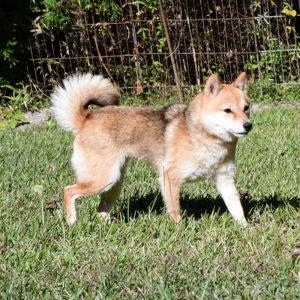 FP068_極小豆柴犬