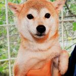 ad114 秋葉原 小豆柴の郷の犬