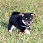 極小豆柴母犬 チナミちゃんの子犬