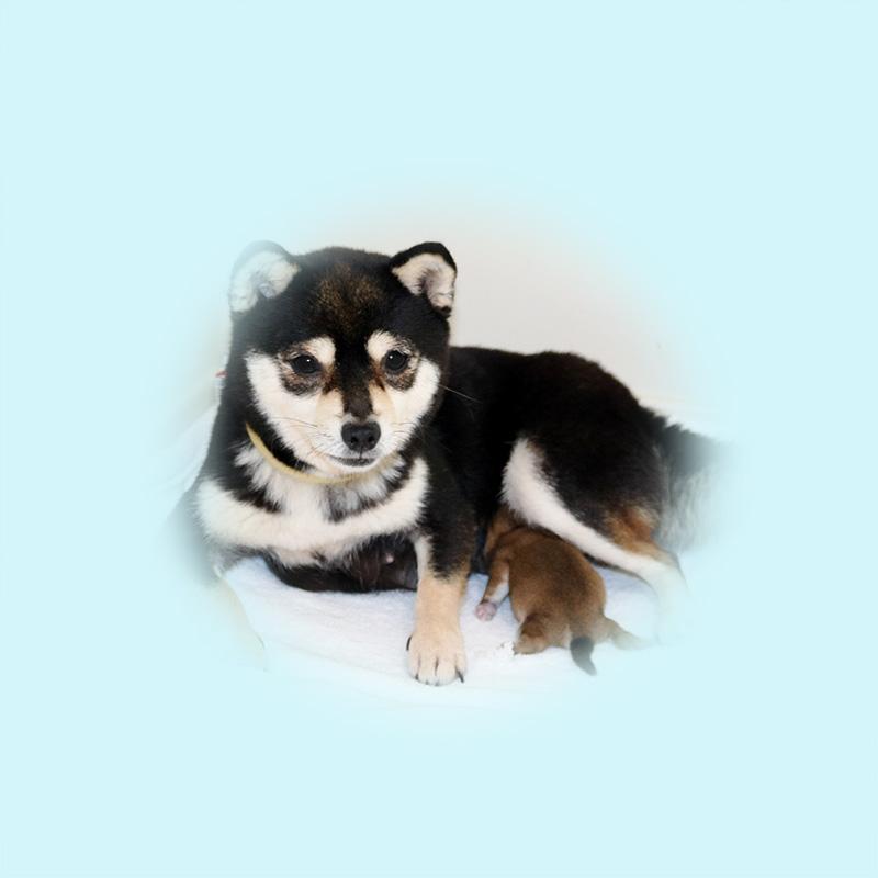 極小豆柴母犬 ミホちゃん