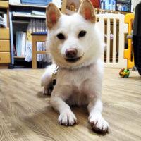 島根県の新留様から<成犬でお迎えされた チップくん>のお便り