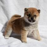 極小豆柴母犬 ナノちゃんの子犬b