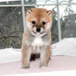 極小豆柴母犬 ニイちゃんの子犬