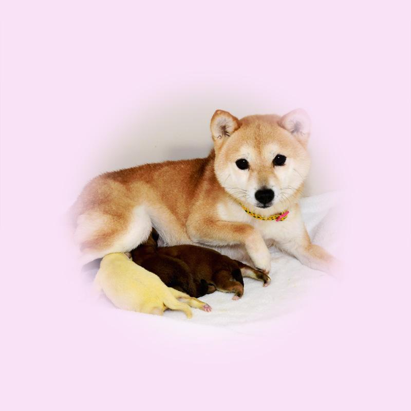 極小豆柴母犬 ルンちゃん