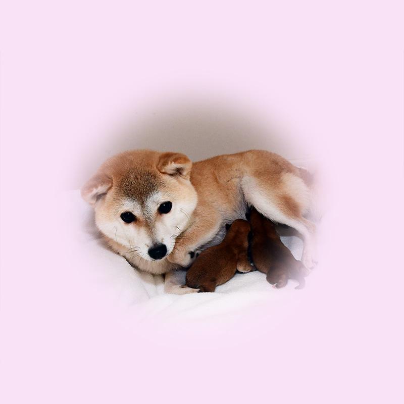 極小豆柴母犬 ラムネちゃん