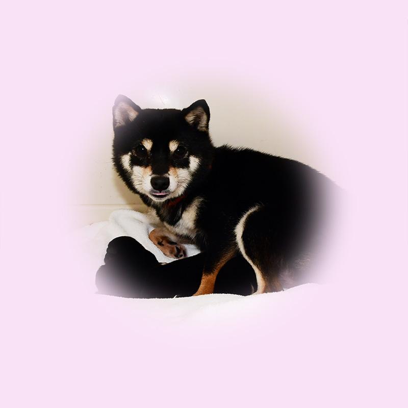 極小豆柴母犬 チリちゃん