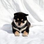 極小豆柴母犬 アロマちゃんの子犬a