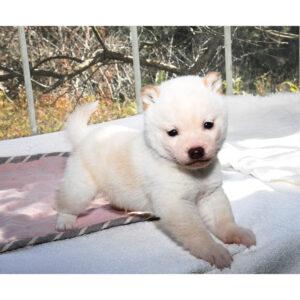 極小豆柴母犬 アロマちゃんの子犬b