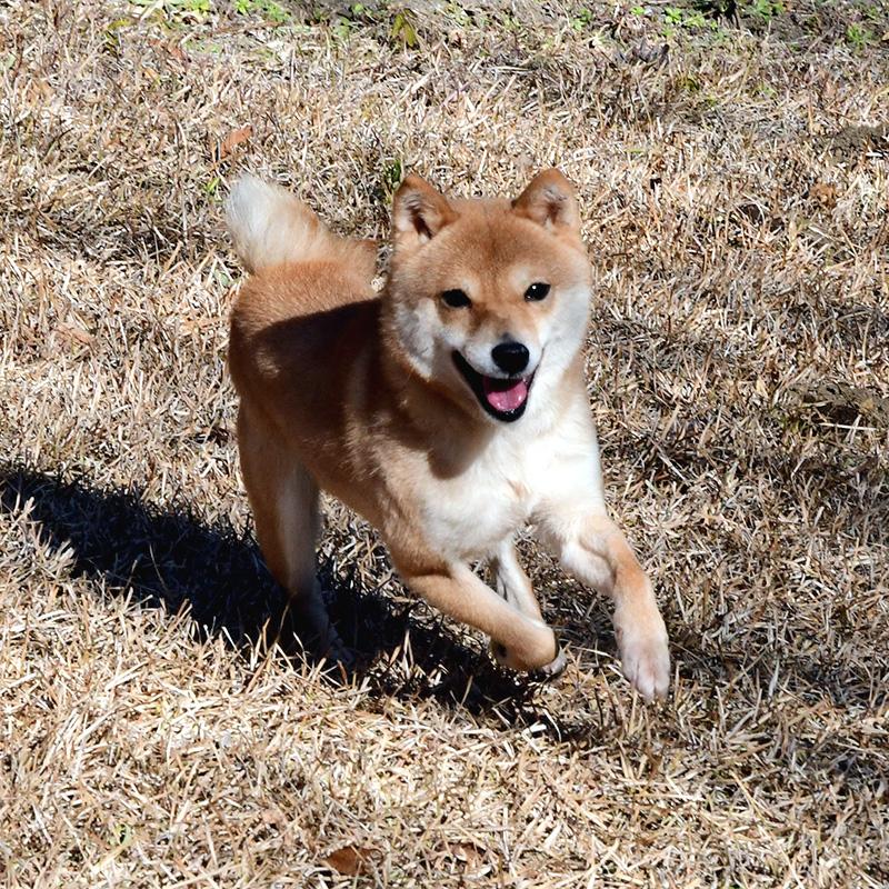 FP070_豆柴犬
