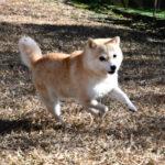 FP072_豆柴犬