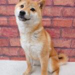 ad118 秋葉原 小豆柴の郷の犬
