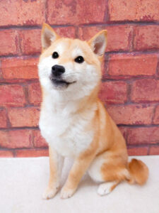 ad120 秋葉原 小豆柴の郷の犬