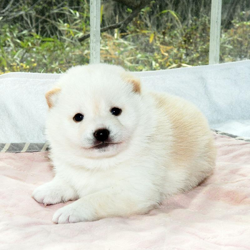 母犬 極小豆柴犬の子犬