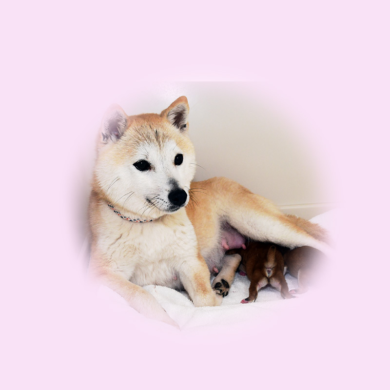 極小豆柴母犬 シムちゃん