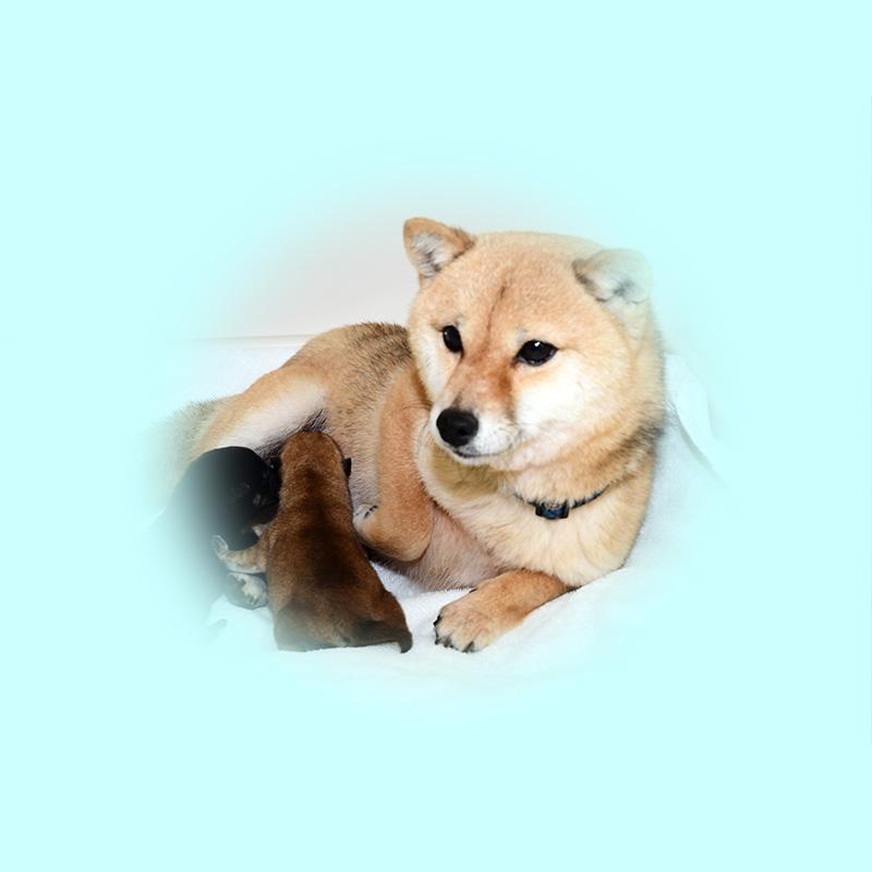 極小豆柴母犬 アヤネちゃん