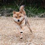社会性訓育済み成犬 FP-073