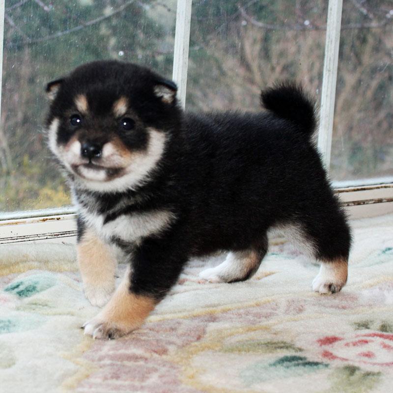 極小豆柴 子犬
