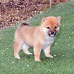 極小豆柴子犬