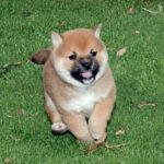 豆柴母犬 子犬
