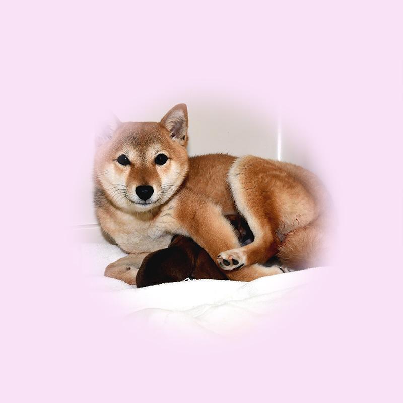 極小豆柴母犬 メイサちゃん