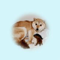 令和3年 3月31日 極小豆柴 シノブちゃんが赤♀♂黒♂白♀出産