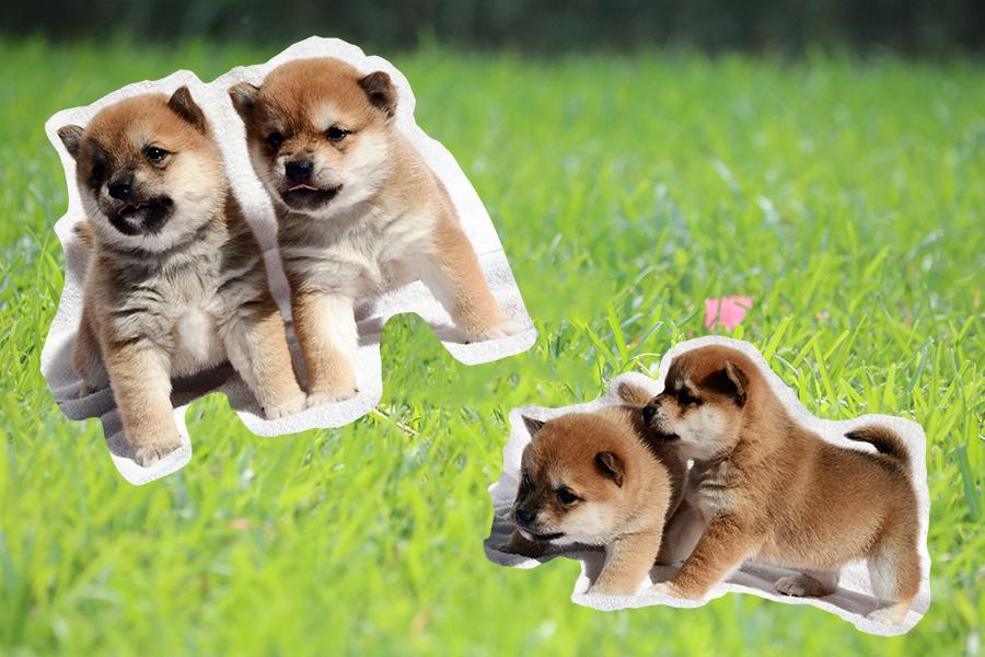 豆柴子犬イメージ画像